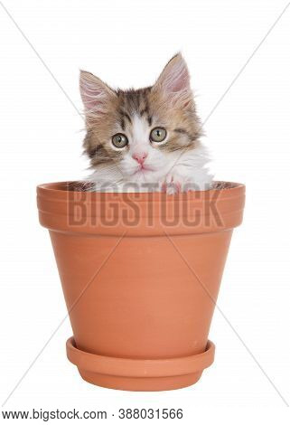 Close Up Of A Norwegian Forrest Cat Kitten Sitting Inside A Small Terra Cotta Pot, Paw On Edge, Look