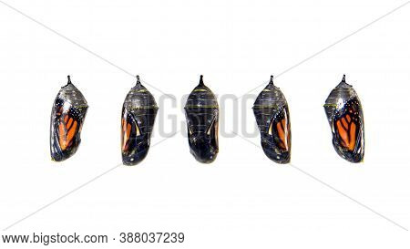 Monarch Butterfly Chrysalis, Transparent With Five Different Angles Showing The Butterfly Inside. Is
