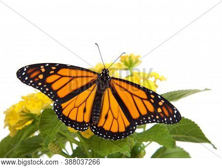 Close Up Of One Monarch Butterfly On Yellow Lantana Flowers, Wings Wide Open, Top View. Isolated On