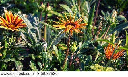 Bright Gazania In The Summer Garden, Background.