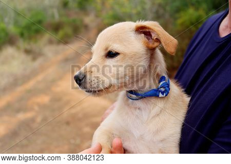 Portrait Of A Yellow Labrador Puppy. Labrador Puppy In The Arms Of A Man