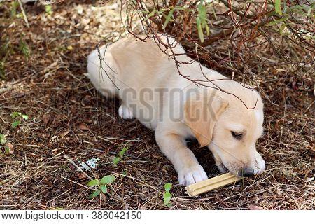 Portrait Of A Yellow Labrador Puppy. Labrador Puppy Gnaws A Bone.