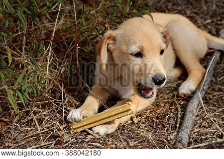 Portrait Of A Yellow Labrador Puppy With Wide Open Mouth. Labrador Puppy Holding A Bone With Its Paw