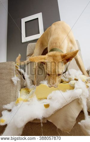 Puppy Dog Chewing And Destroying A Sofa. Obedience Problems And Teething Concept.