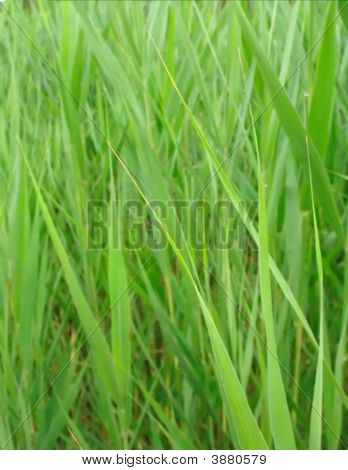 Rftallgrass
