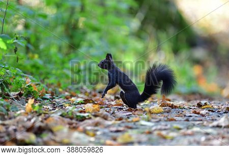 Eurasian Red Squirrel Climbs The Leaves On The Ground In The Forest And Looks For Food