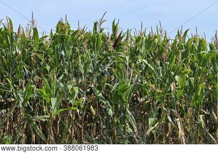 Green Cornfield Against A Blue Sky, Monoculture In Nothern Germany