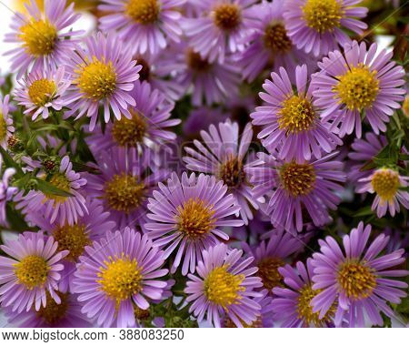 Flowers Wild Violet Asters, Background. Aster Amellus, Michaelmas Daisies, Aster Alpinus, Alpine Ast