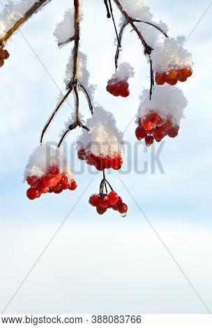 Twigs With Red Berries Viburnum Opulus (common Names: Guelder-rose, Water Elder, Cramp Bark, Snowbal