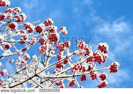 Branches Of Viburnum Opulus (common Names: Guelder-rose, Water Elder, Cramp Bark, Snowball Tree And
