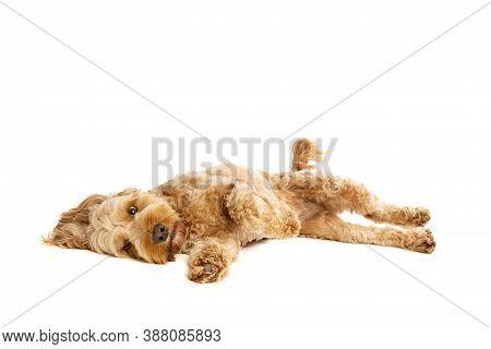 Brown Cockapoo Dog