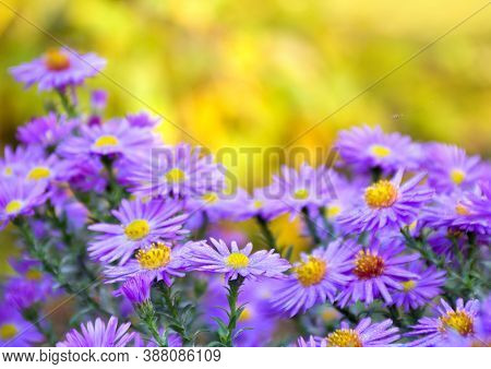 Wild Violet Asters With Dew On Yellow Autumnal Background With Space For Text. Aster Amellus, Michae