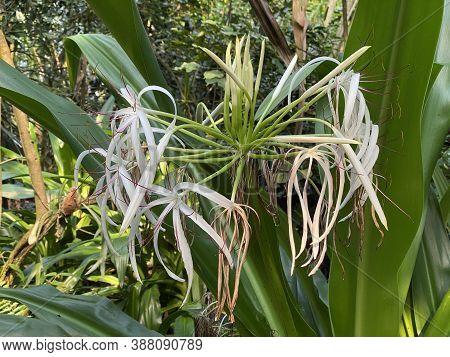 Poison Bulb (crinum Asiaticum), Giant Crinum Lily, Grand Crinum Lily, Spider Lily, Asiatische Hakenl
