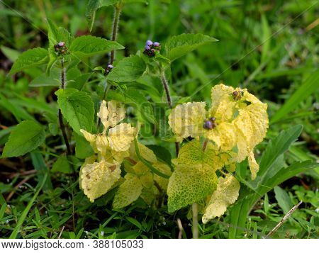 Billy Goat-weed Or Chick Weed (ageratum Conyzoides) In Green And Yellow Leaves