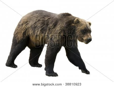 Grizzly bear  (Ursus arctos horribilis)  in profile isolated on a white background