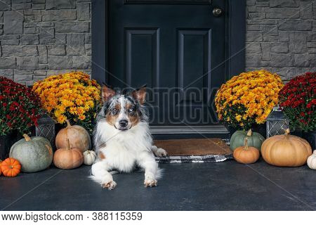 Beautiful Juvenile Male Blue Merle Australian Shepherd Dog Lying On A Front Porch Decorated With Mum