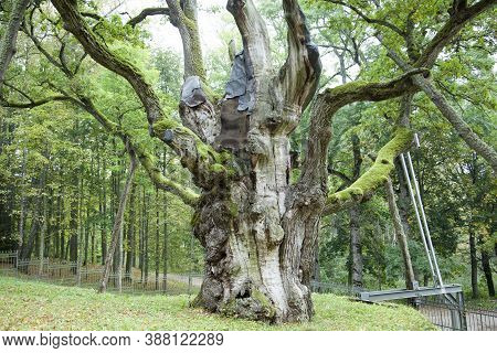 The Oak In Stelmuze Village Is Around 1,500 Years Old And Considered One Of The Oldest In Europe And