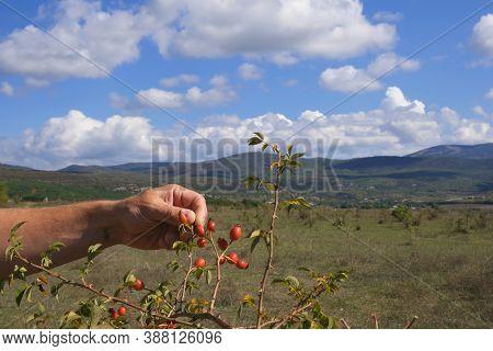 Collecting Rose Hips. Freshly Picked Rose Hips. Rose Hips In Hands With Rose Hips Background, Harves