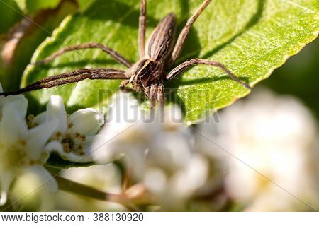 A Macro Portrait Of A Wolf Spider Sitting On A Leaf Of A Bush. The Spiders Paws Are Spread Across Th