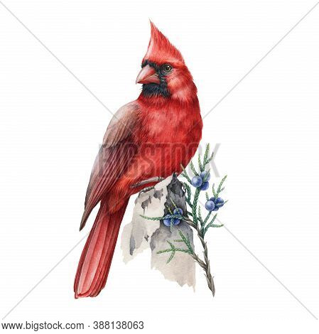 Red Cardinal Bird With Juniper Stem Watercolor Illustration. Hand Drawn Beautiful Bird With Winter B