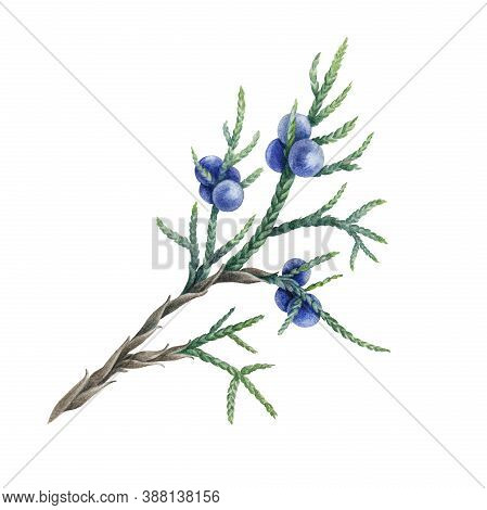 Juniper Stem With Green Leaves And Blue Berries Watercolor Illustration. Hand Drawn Natural Organic