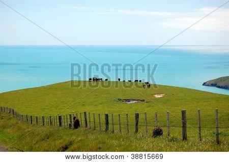 Cows Behind Farm Fence Sea View