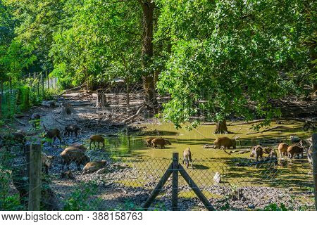 Feral pigs or wild boars in fenced-in area swamp