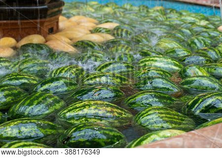 Watermelons And Melons Floating In A Water Tank. Harvesting Farm Gourds. Green Striped Watermelon Cl