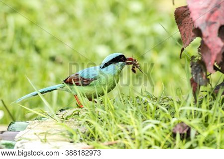 Common Green Magpie (cissa Chinensis) Eating Insects In The Forest