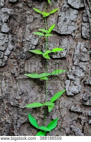 A Selective Focus Macro Image Of A Creeper Of Green Stem And Leaves Climbing On The Bark Of A Tree T