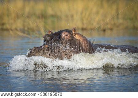 Hippo Showing Aggression Splashing Water In Chobe River In Botswana
