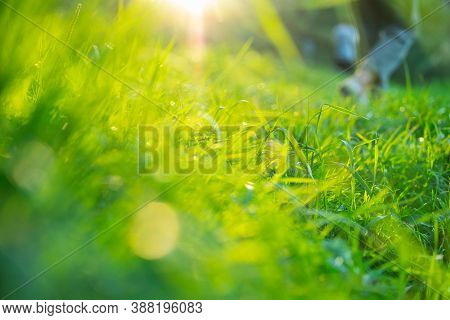 Natural Background: Bright Fresh Green Grass In The Sun. Ecology And Environment. Healthy Environmen