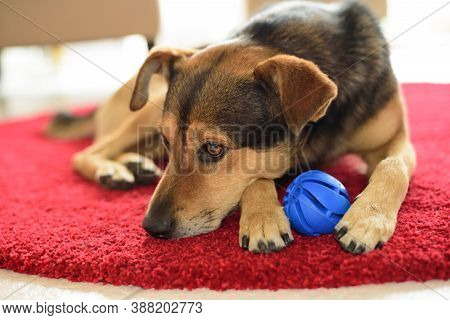Trauriger Kleiner Hund Mit Seinem Ball Spielzeug