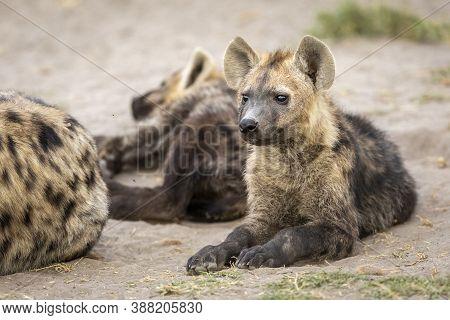 Baby Hyena Lying Down Looking Alert Amongst Its Clan In Savuti In Botswana