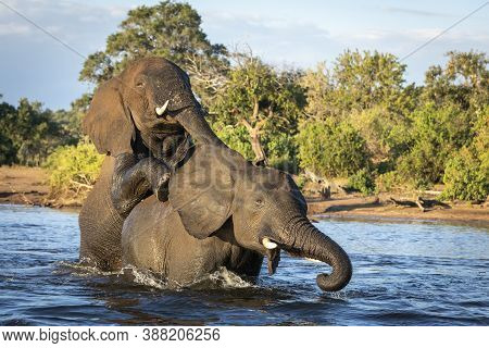 Two Elephants Standing In Water Playing In Chobe River In Botswana