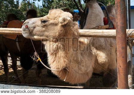 Camels Farm, Breeding Shed In The Rural Farm.
