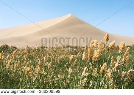 Green Reeds Around The Desert.