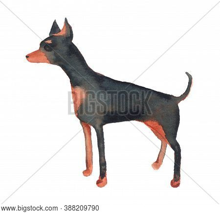 Watercolor Image Of English Toy Terrier. Hand Drawn Illustration Isolated On White Background. Dog B