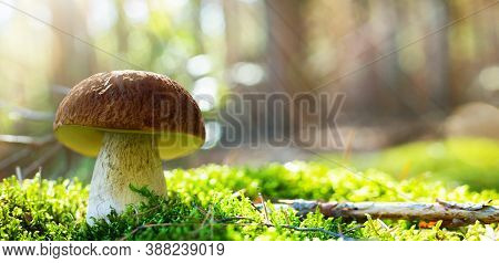Art Autumn Forest Nature Background. Cep Porcini Mushroom On The Moss In Sunny Light.