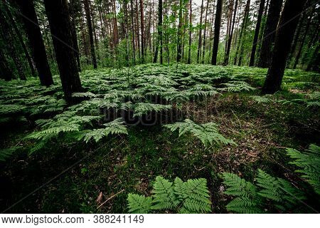 Beautiful Green Landscape With Ferns In Pine Forest. Dense Fern Thickets In Dark Woods Among Pines A