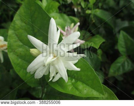 Scenic View Of Jasmine Flower Beautiful And Fragrant Flowers