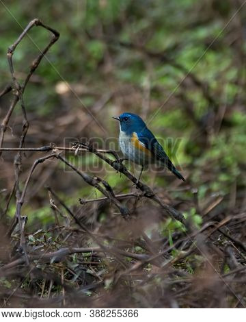 A Beautiful Little Himalayan Bluetail (tarsiger Rufilatus), Perched In A Thicket, In The Forests Of