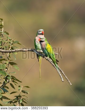 A Pair Of Red-breasted Parakeets (psittacula Alexandri), Perched On A Tree Branch In The Wild Forest