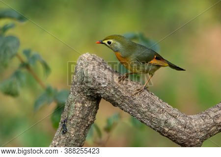 Cute Little Red-billed Leiothrix (leiothrix Lutea), Perched On A Tree Branch In The Forests Of Satta