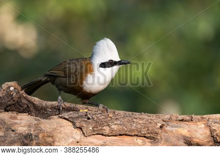 A Beautiful White-crested Laughingthrush (garrulax Leucolophus), Perched On A Tree Branch In The For