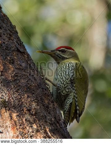 A Beautiful Male Scaly-bellied Woodpecker (picus Squamatus), Foraging On The Side Of A Tree Trunk In