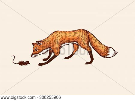 The Fox Sneaks Up On The Prey. The Animal Hunts For A Mouse. Forest Ginger Beast. Vector Engraved Ha