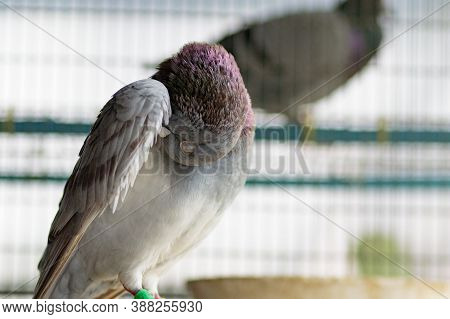 Portrait Of Homing Pigeon Preen Feather In Home Loft