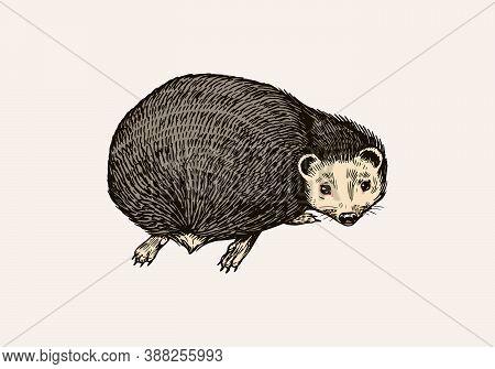 Hedgehog Looks Back. Spiny Forest Animal. Prickly Creature. Vector Engraved Hand Drawn Vintage Sketc
