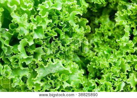 Close up of fresh frilled lettuce.